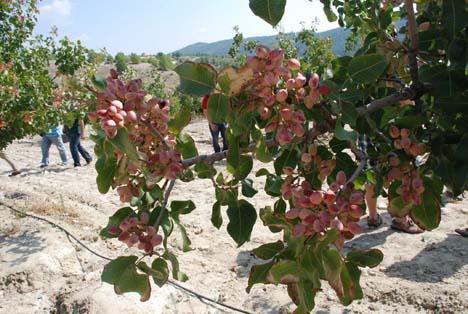 Die Sorte Sirora . Foto © La Consejería de Agricultura Región de Murcia