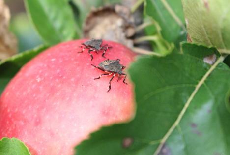 Nymphen auf Apfel (September 2017, Auer). Foto © Versuchszentrum Laimburg