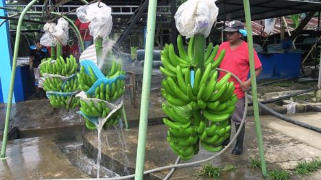 Bio-Bananen aus Ecuador vor der Verschiffung nach Deutschland. Foto © obs/ZDF/Daniel Meinl