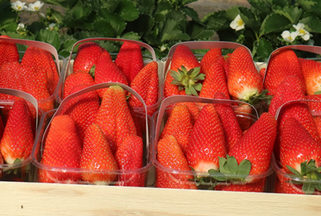Erdbeere Lycia® Foto © Consorzio Italiano Vivaisti