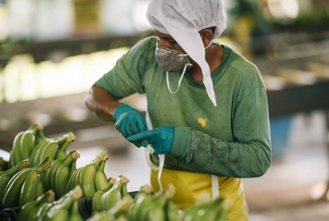 Faitrade Mitarbeiter bereitet Bananen für den Export vor. Foto © Fairtrade | Christoph Köstlin