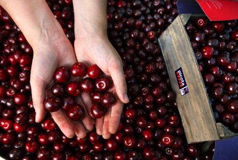 Saisonstart in Deutschland: Hola Picota! – Die spanische Kirsche ohne Stiel schmeckt ganz besonders