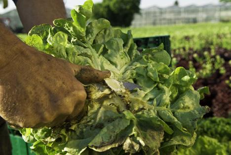 Foto © Reichenau-Gemüse eG