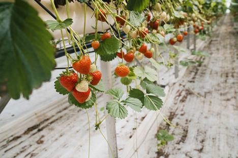 Erdbeeren Foto © SOV