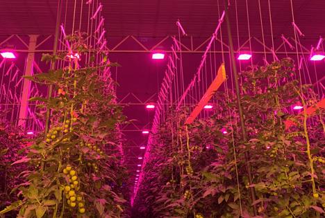 Gemüsebau Steiner Hyperion LED Installation. Foto © Hyperion Grow Lights