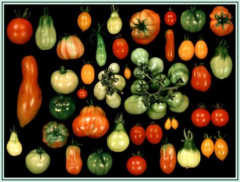 Die Vielfalt macht den Unterschied - auch bei Tomaten. Foto © IPK