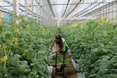 Tomatenanbau in hochmodernem Solargewächshaus in Südspanien Foto © CuTE SOLAR