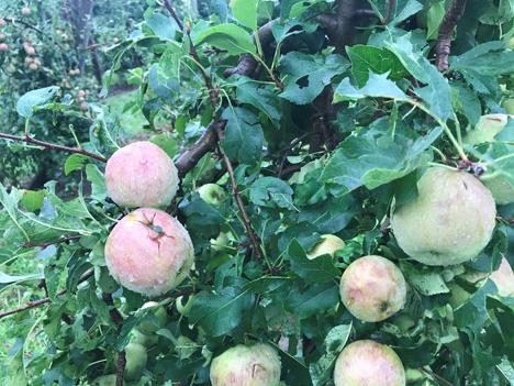 Hagel Äpfel St. Georgen. Foto © Österreichische Hagelversicherung VVaG