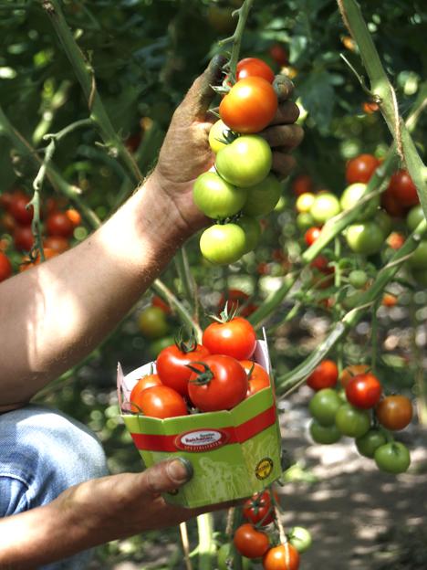 Tomate Inselperle. Foto © Reichenau-Gemüse eG