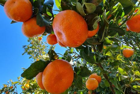 BioTropic Nadorcott-Mandarinen aus Marokko, Le Verger Bio. Foto © BioTropic GmbH