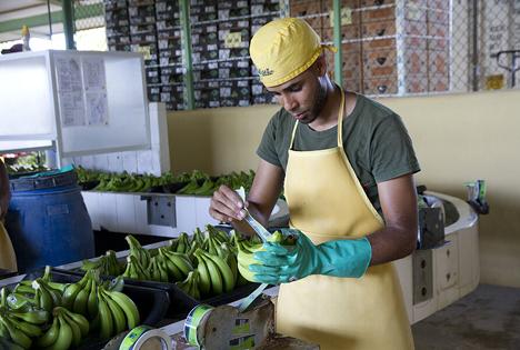 Fairtrade Bananen Dominikanische Republik, Dec 2020. Foto © Fairtrade Deutschland (Transfair e.V.)