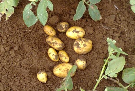 Schon die Inkas wussten die Vorzüge der Kartoffel zu schätzen. Foto © Boehmer/die-kartoffel.de