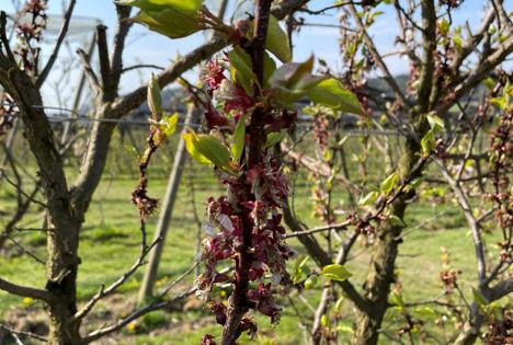 Österreichische Hagelversicherung: Frostige Zeiten im Obstbau