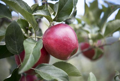RedPop Apple® febr 21 Foto © CIV