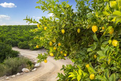 Zitronenanbau bei SanLucar. Foto © SanLucar
