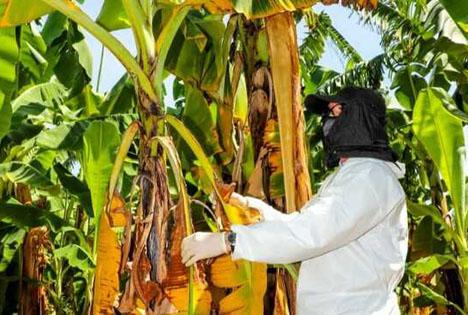 Foto © Senasa Peru bestätigt Ausbruch von Fusarium-Welke Tropical Race 4 bei Bananen in Piura
