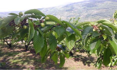 Árbol de fitoserias.  Foto © Valle del Gerde